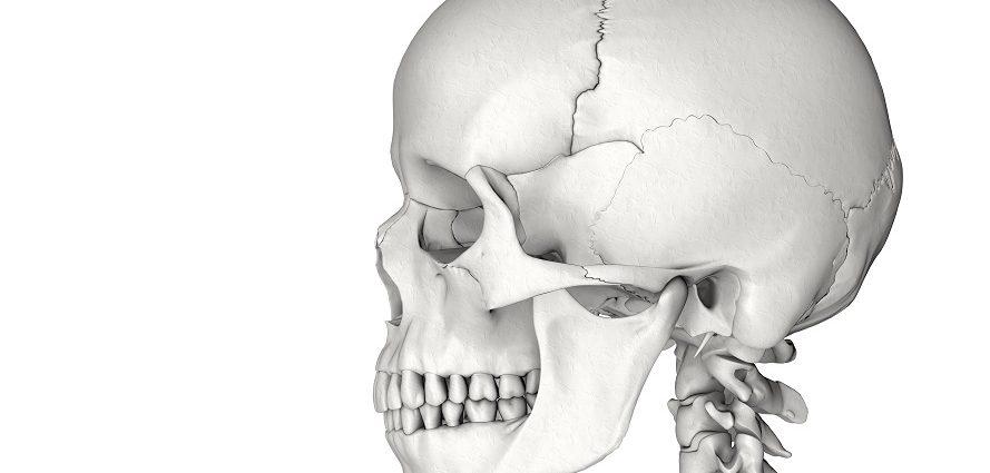 human skull showing facial bones